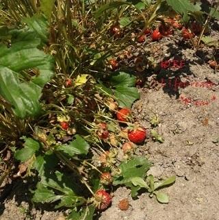 イチゴの実も餌食に…
