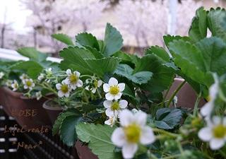 バラ科の可愛い花です