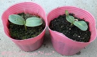 芽が出たのは2株