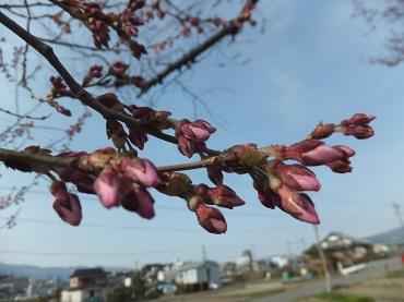 桜の大木3月30日