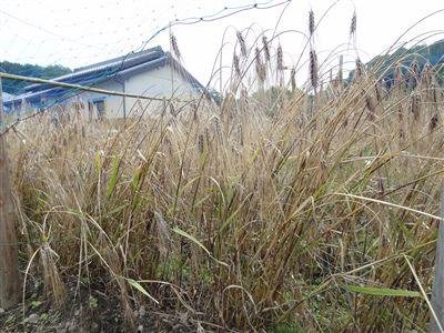 ムラサキ麦1