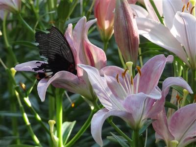 千種公園 ユリと蝶