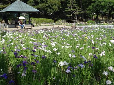 鶴舞公園 花しょうぶ1