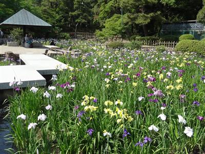 鶴舞公園 花しょうぶ3