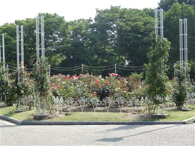鶴舞公園 バラ3