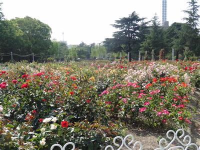 鶴舞公園 バラ4