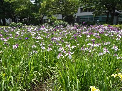 神宮東公園 花しょうぶ2