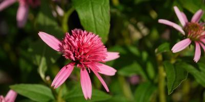 Echinacea perpurea Pink Double Delight