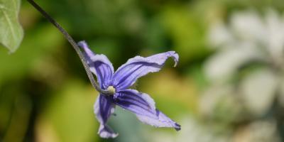 Clematis integrifolia Hendersonii