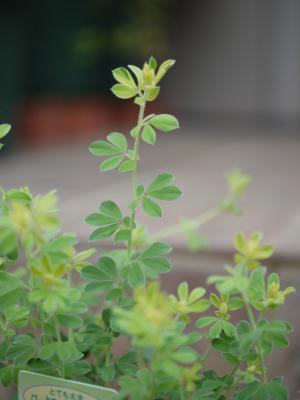Lotus hirsutus Brimstone