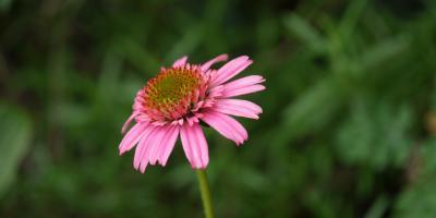 Echinacea perpurea Piccolino