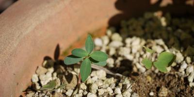 Euphorbia characias Black Pearl ?