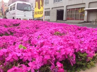 20130404川端の芝桜