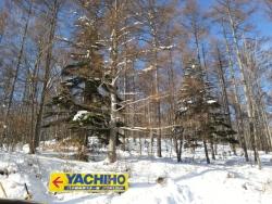 八千穂高原スキー場 日本一の白樺林