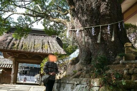 大きなクスの木