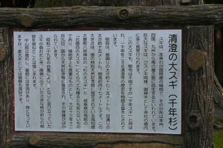 記念物の大杉