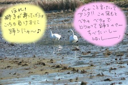 白鳥の内輪話