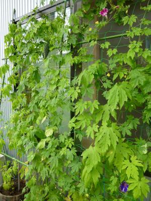 2012夏・緑のカーテン
