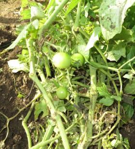 2013_12 07_雑草と間違えてトマトを抜いた・2