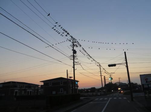 2013_12 05_電線にカラスの群れ・1