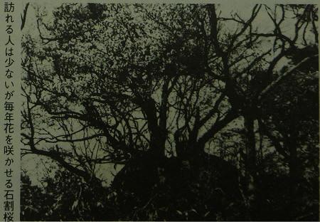 石割桜について06(2013.4.22)