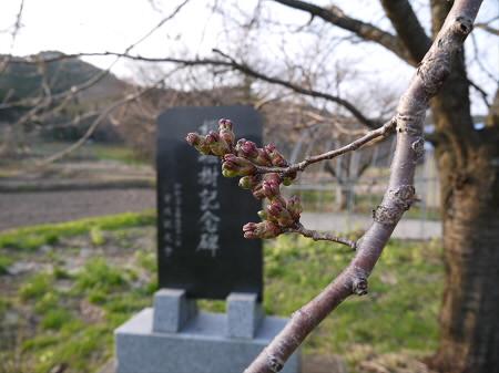 安比川堤防の桜並木04(2013.5.8)