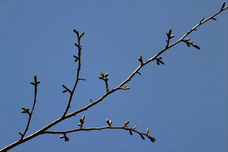 三峰山の石割桜04(2013.5.10)