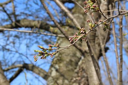 安比川堤防の桜並木03(2013.5.10)