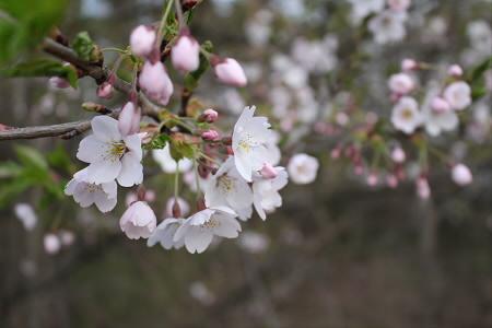 焼走り線の桜並木03(2013.5.10)