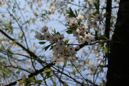 為内の一本桜06(2013.5.14)