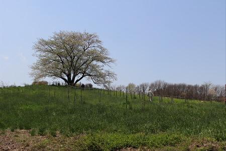 為内の一本桜11(2013.5.14)