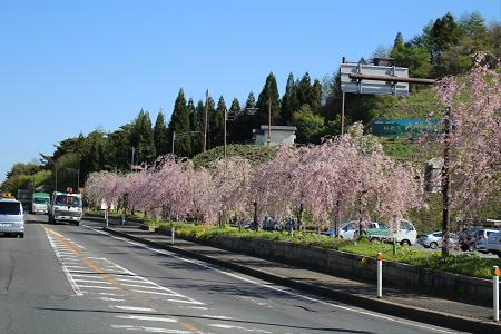 道の駅にしねの桜08(2013.5.14)