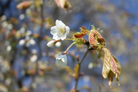 上坊牧野の一本桜02(2013.5.17)