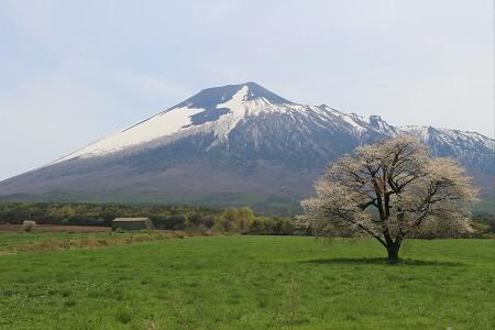 上坊牧野の一本桜02(2013.5.18)
