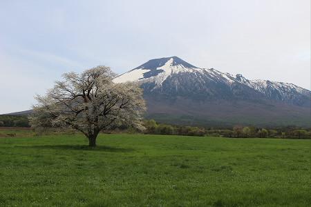 上坊牧野の一本桜07(2013.5.18)