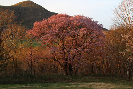 田代平高原の一本桜11(2013.5.18)