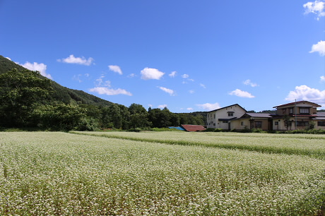 そば畑細野02(2013.8.28)