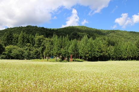そば畑細野06(2013.8.28)