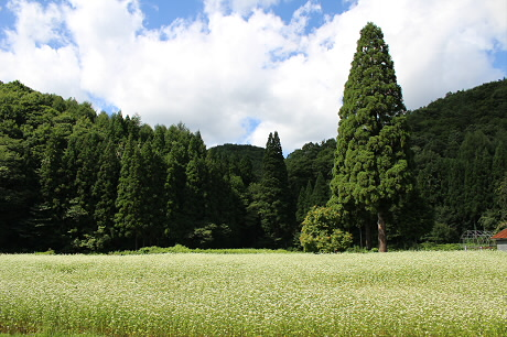 そば畑細野07(2013.8.28)