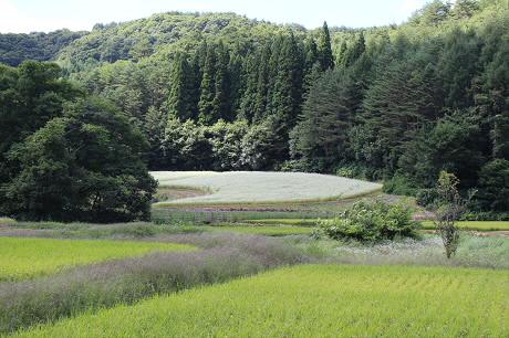 そば畑細野08(2013.8.28)