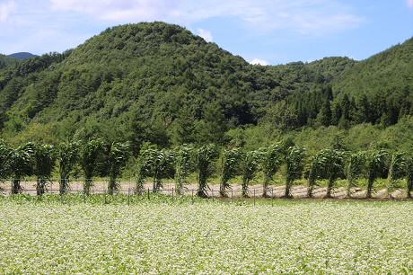 そば畑細野15(2013.8.28)