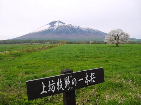 上坊牧野の一本桜01(2013.5.19)