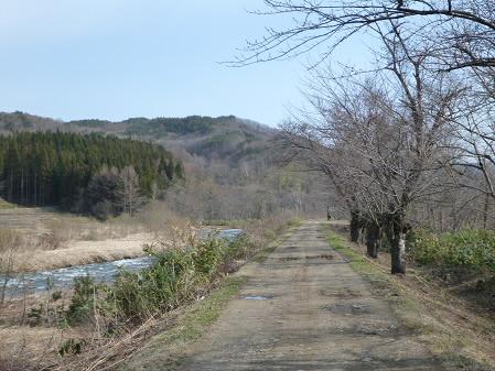 安比川堤防の桜並木01(2013.4.16)