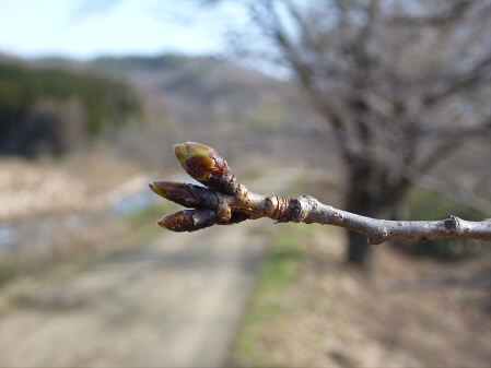 安比川堤防の桜並木04(2013.4.16)