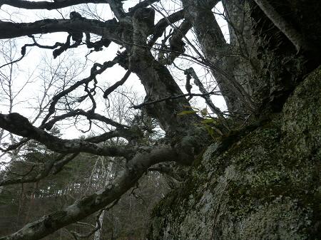 八幡平の石割桜11(2013.4.17)