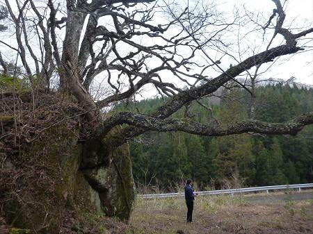 八幡平の石割桜14(2013.4.17)