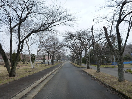 八幡平トラウトガーデンの桜01(2013.4.19)