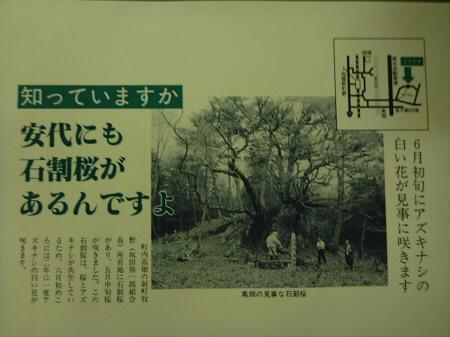 石割桜について04(2013.4.22)