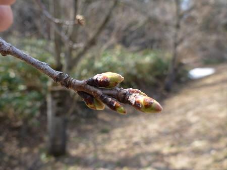 安比川堤防の桜並木02(2013.4.23)
