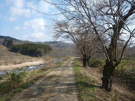 安比川堤防の桜並木03(2013.4.23)